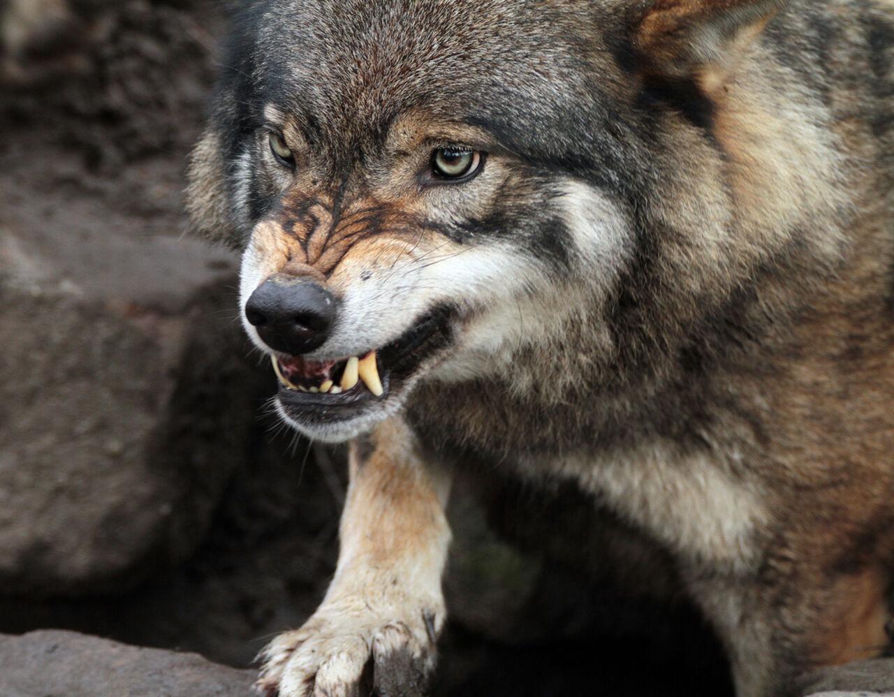Свидетели: Волк безумно покусал 3-х летнего ребенка вбарнаульском зоопарке