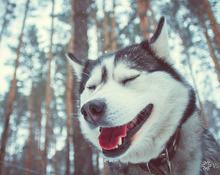 Husky Photo Party: День всех влюблённых в хаски