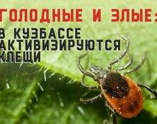 Голодные и злые: в Кузбассе активизируются клещи