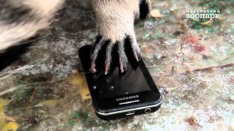 Еноты Московского зоопарка приноровились похищать иразбирать сотовые телефоны