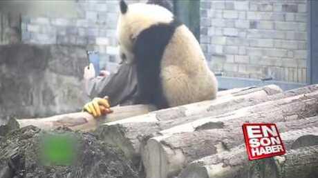Детеныш панды укусил девушку заголову