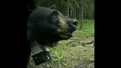 Медведь, атакующий собаку хаски, был снят навидео