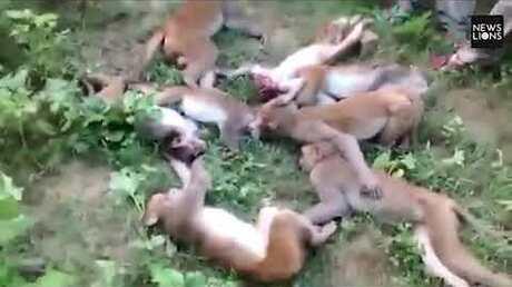 12 обезьян вИндии одновременно погибли отстраха