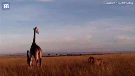 Навидео угодила схватка жирафов сольвом взаповеднике наюго-западе Кении