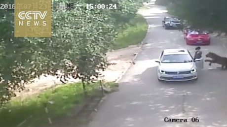 Всафари-парке Пекина тигр набросился исъел вышедшую измашины женщину