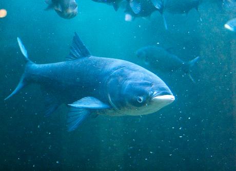 Семь тонн рыбы выпустили в Беловское водохранилище