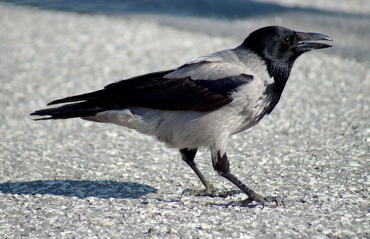 Картинка ворона, путина днем рождения