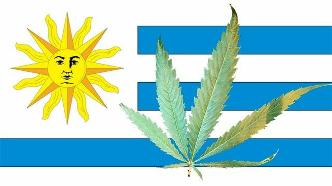 Уругвай легализовавшей марихуану конопля из афганистана