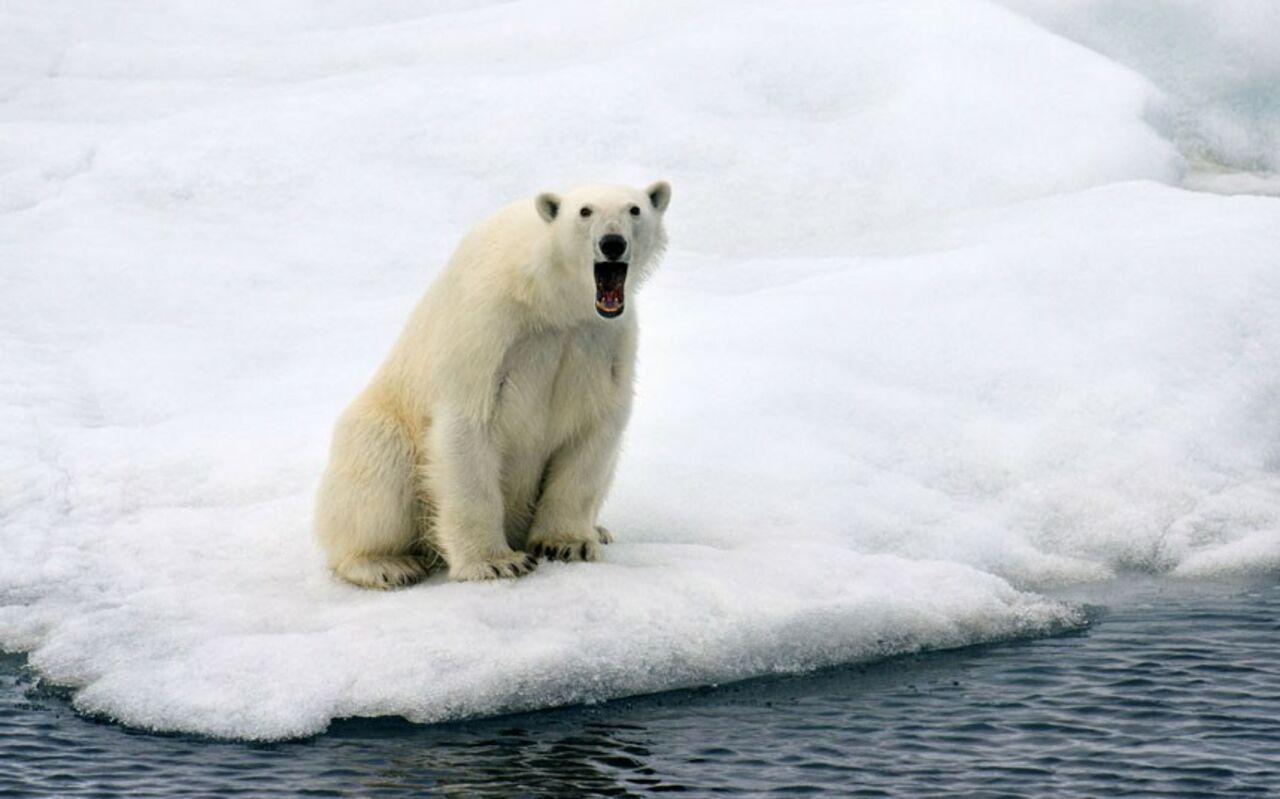 Картинки с белым медведем прикольные, поздравления