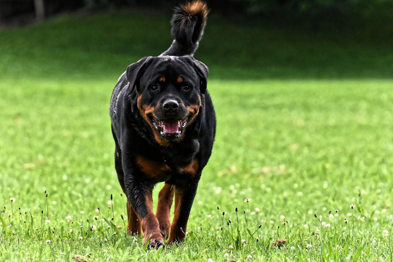 rottweiler dog food - 960×640